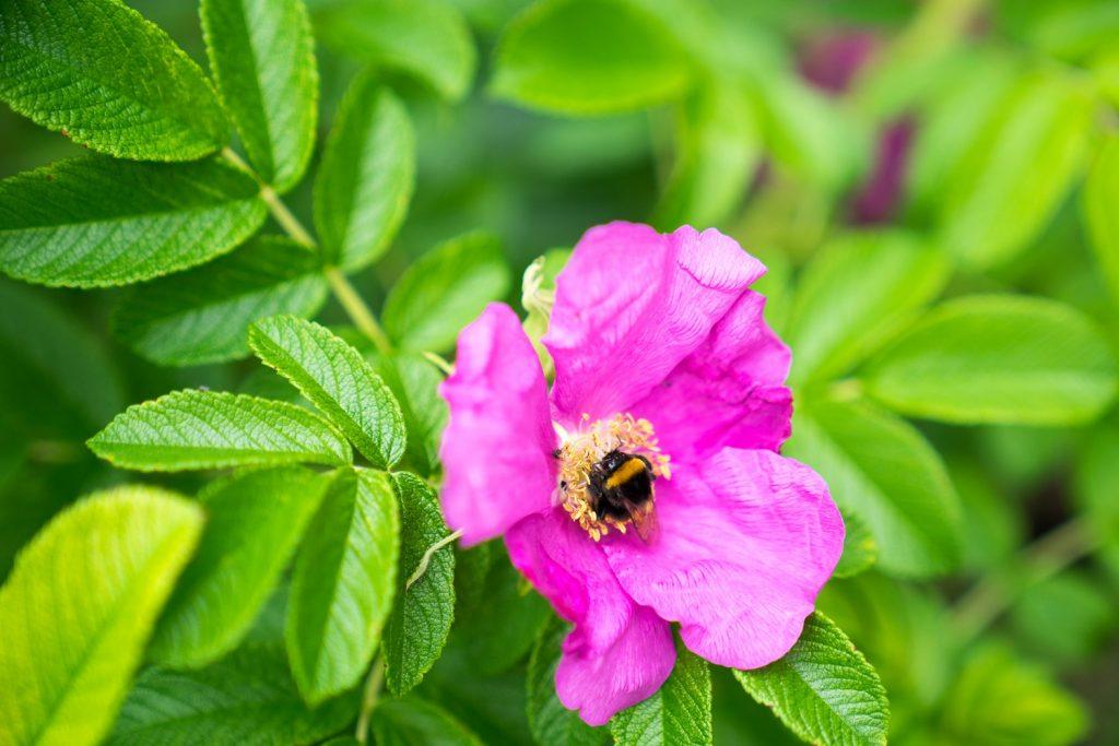 Poel Blume Hummel